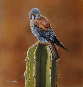 American Kestrel - Copy